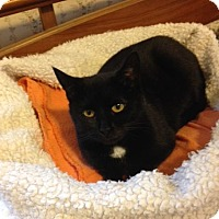 Domestic Shorthair Cat for adoption in Columbus, Ohio - Spirit