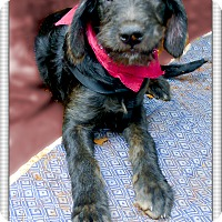 Adopt A Pet :: Kimber companion dog - Sacramento, CA