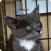 Adopt A Pet :: Wiley B - Sacramento, CA