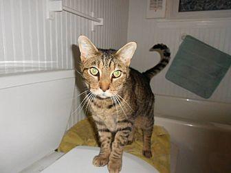 Domestic Shorthair Cat for adoption in Clarkson, Kentucky - Cronus