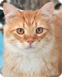 Domestic Mediumhair Cat for adoption in St Louis, Missouri - Gordon