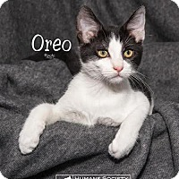 Domestic Shorthair Cat for adoption in Fort Mill, South Carolina - Oreo 5420d