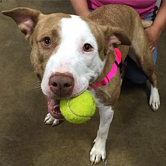 American Staffordshire Terrier/Terrier (Unknown Type, Medium) Mix Dog for adoption in Medina, Ohio - Niya