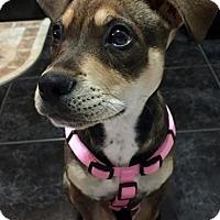 Adopt A Pet :: Hailee - Windermere, FL