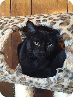 Domestic Shorthair Kitten for adoption in Davison, Michigan - Chase