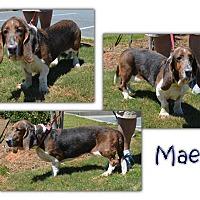 Basset Hound Dog for adoption in Marietta, Georgia - Mae