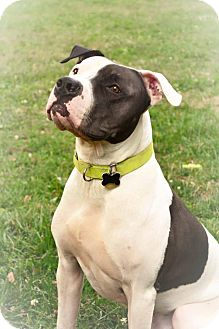 American Bulldog/Great Dane Mix Dog for adoption in Eastpointe, Michigan - Moo Moo Face