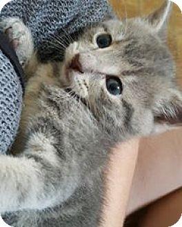 Domestic Shorthair Kitten for adoption in Lexington, Kentucky - Fran