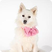 Eskimo Dog Dog for adoption in St. Louis Park, Minnesota - Lexie