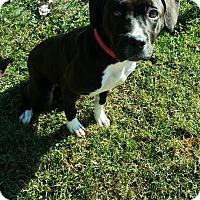 Boxer/Labrador Retriever Mix Puppy for adoption in Cannelton, Indiana - Cheyenne