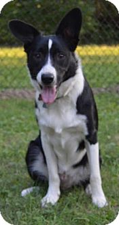 Border Collie Dog for adoption in Plymouth, Indiana - Emmitt