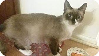 Siamese Cat for adoption in Greeley, Colorado - Daya