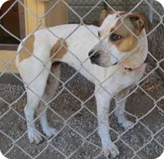 American Pit Bull Terrier Mix Dog for adoption in Monte Vista, Colorado - Lady Bug