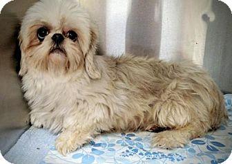 Shih Tzu Dog for adoption in Newark, Delaware - Bitsy