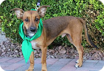 Dachshund/Terrier (Unknown Type, Small) Mix Dog for adoption in Las Vegas, Nevada - NELSON