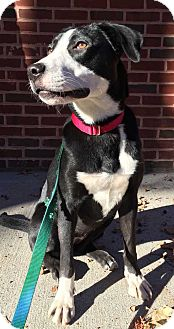 Collie/Labrador Retriever Mix Dog for adoption in New York, New York - Crimson