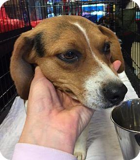 Beagle Mix Dog for adoption in Powder Springs, Georgia - Colleen