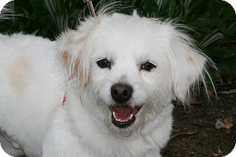 Spaniel (Unknown Type) Mix Dog for adoption in Carlsbad, California - Bernie