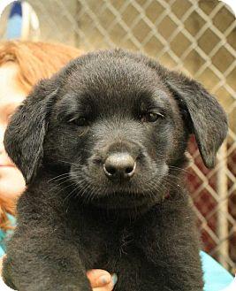 Rottweiler/Labrador Retriever Mix Puppy for adoption in Fort Madison, Iowa - Okieo (Red Collar)