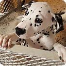Adopt A Pet :: PONGO - ADOPTION PENDING