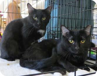 Domestic Shorthair Kitten for adoption in Merrifield, Virginia - Cherry
