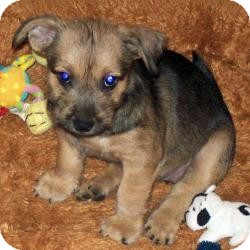 Yorkie, Yorkshire Terrier/Cairn Terrier Mix Puppy for adoption in The Villages, Florida - Trixie