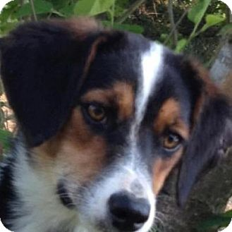 Greater Swiss Mountain Dog/Beagle Mix Dog for adoption in Conway, Arkansas - Bradley