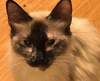 Siamese Cat for adoption in LaJolla, California - Tajia