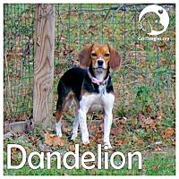 Adopt A Pet :: Dandelion - Pittsburgh, PA