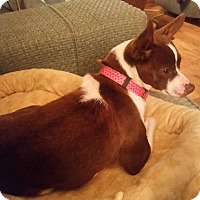 Adopt A Pet :: Lilly - Elkhart, IN