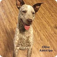 Adopt A Pet :: OLIVE - Conroe, TX