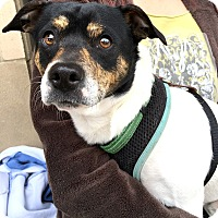 Adopt A Pet :: Snoopy-ADOPTION PENDING - Boulder, CO