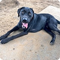 Labrador Retriever Dog for adoption in Denton, Texas - Kona