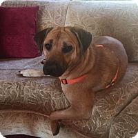 Labrador Retriever Mix Dog for adoption in New York, New York - Tina
