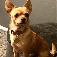 Chihuahua Mix Dog for adoption in Scottsdale, Arizona - PeeDee