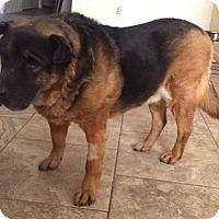 Adopt A Pet :: Boo Bear - Tucson, AZ