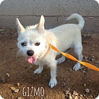 Cairn Terrier/Chihuahua Mix Dog for adoption in Phoenix, Arizona - Gizmo