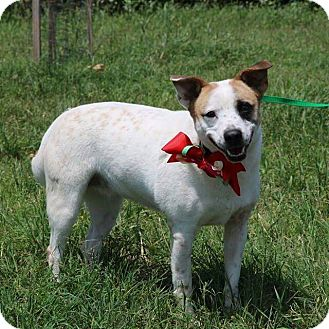 Corgi/Cattle Dog Mix Dog for adoption in Lacey, Washington - Sarah