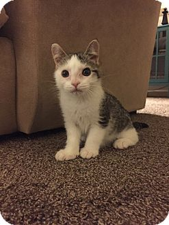 Domestic Shorthair Kitten for adoption in Carlisle, Pennsylvania - Matilda