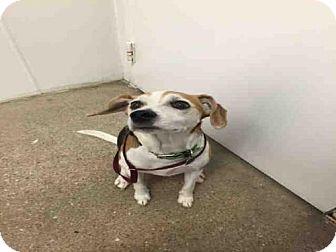 Beagle Mix Dog for adoption in Lawrence, Kansas - CLOVER