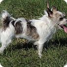 Adopt A Pet :: LITTLE LOLA