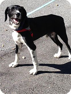 German Wirehaired Pointer Dog for adoption in Westminster, Maryland - Byron