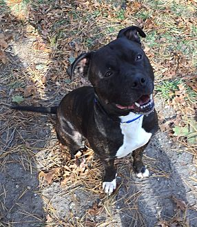 American Staffordshire Terrier Mix Dog for adoption in Dennis, Massachusetts - Bully