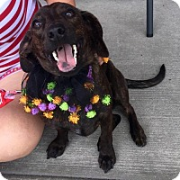 Dachshund Mix Dog for adoption in Palm Harbor, Florida - Haven