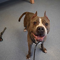 Pit Bull Terrier Mix Dog for adoption in Bay Shore, New York - Rory