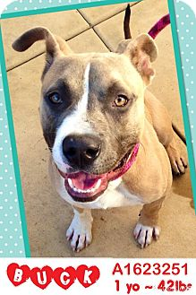 American Staffordshire Terrier/American Pit Bull Terrier Mix Dog for adoption in San Diego, California - Buck