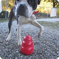Boxer Mix Dog for adoption in Greensboro, North Carolina - Saucy