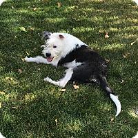 American Staffordshire Terrier/Terrier (Unknown Type, Medium) Mix Puppy for adoption in Ridgecrest, California - Atticus