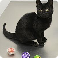 Adopt A Pet :: Asia - Springfield, IL