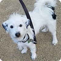 Adopt A Pet :: chilly willy - Las Vegas, NV